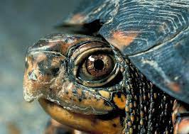 High Could Red Eared Sliders Breathe Underwater Accounts
