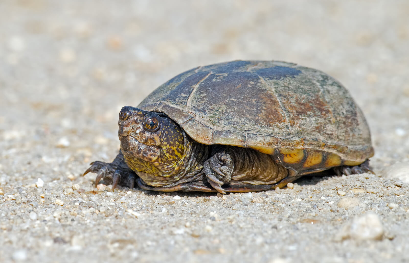 American Snapping Turtle – All Turtles